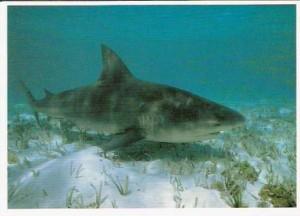 Zambezi Shark