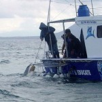 Tasmania wants to exploit shark cage diving