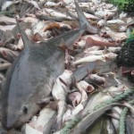 Porbeagle as bycatch