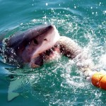 Great white investigating