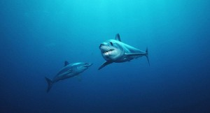 Two mako sharks