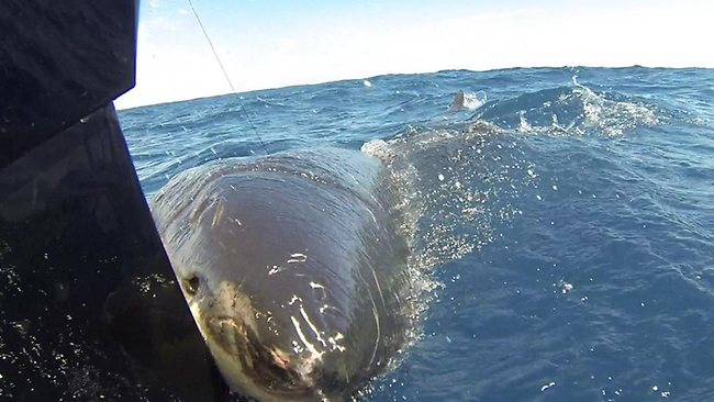 New system for shark incidents - SharkNewz