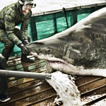 Ocearch-scientists stabilize a great white before taking measurements.