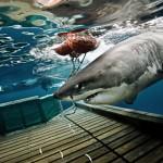 Shark Amy guided on platform