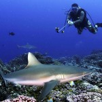 Divers enjoy live sharks better than a bowl of shark fin soup. Photo courtesy of University of British Columbia.
