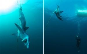Dead mako shark