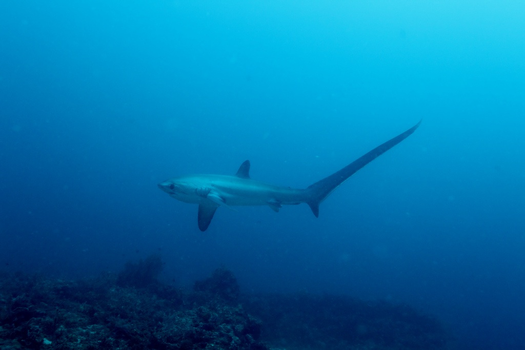 Thresher shark in Philippines  Photo  Creative Commons Klaus Stiefel Thresher Shark Jumping Out Water