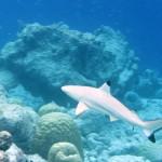 Blacktip reef shark. Photo: Flickr Creative Commons/Warrenski.