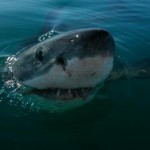 Great white. Photo Credit Must Be: M. Scholl, Save Our Seas Foundation