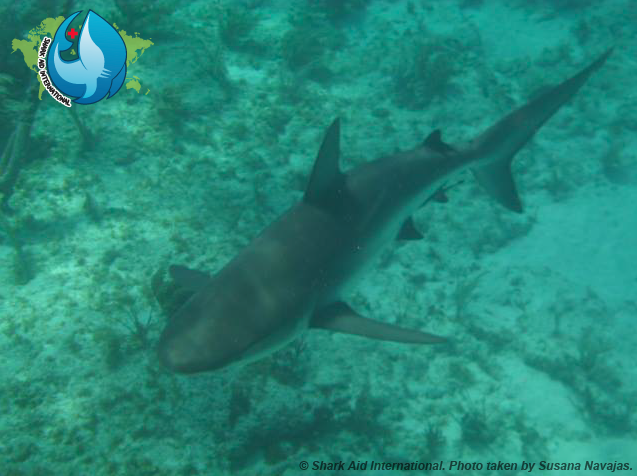 Carribean Reef Shark (Shark Aid International)