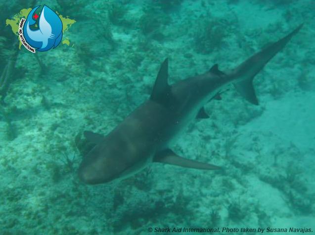 Carribean Reef Shark (Shark Aid International)