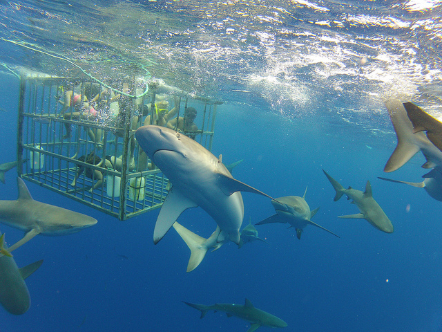 Blue sharks outside a cage. Photo: Flickr Creative Commons/Kalanz.