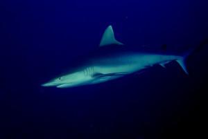 Grey Reef Shark. Photo: WCS/Jurgen Brand.
