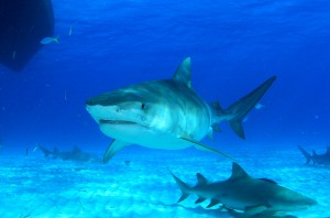 Tiger sharks like to roam coastal waters and are very inquisitive.