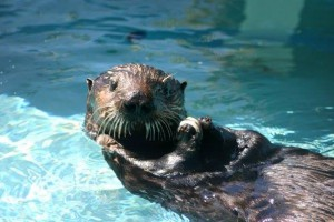 Olive the oiled sea otter.