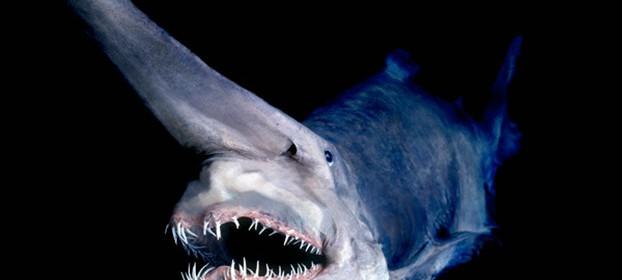 goblin-shark2