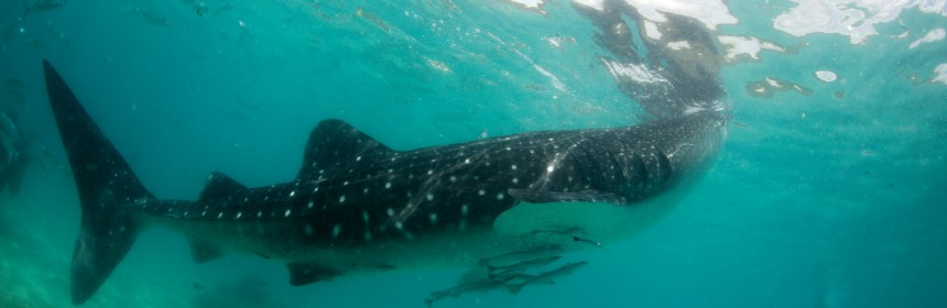Whale shark in Oslob, Cebu, Philippines. Photo: Flickr Creative Commons/Klaus Stiefel.