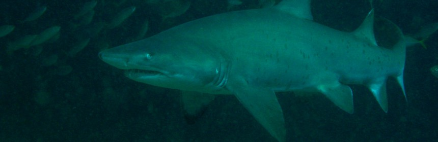 A Grey Nurse Shark (Carcharias taurus). Magic Point, Maroubra, NSW