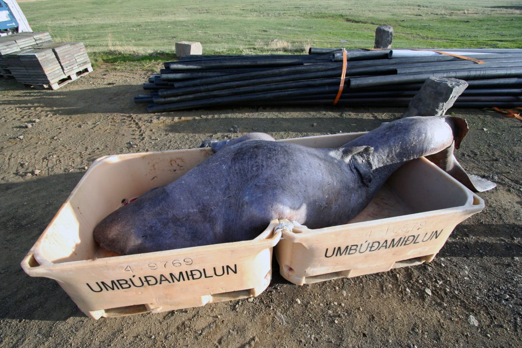 Dead Greenland shark for hákla production in Iceland. Photo: Flickr Creative Commons/Audrey.