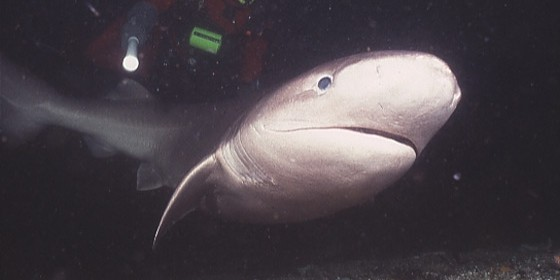 Six-gill shark. Photo: Seattle Aquarium.