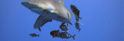 Oceanic whitetip. Photo: Flickr Creative Commons/Michael Aston.
