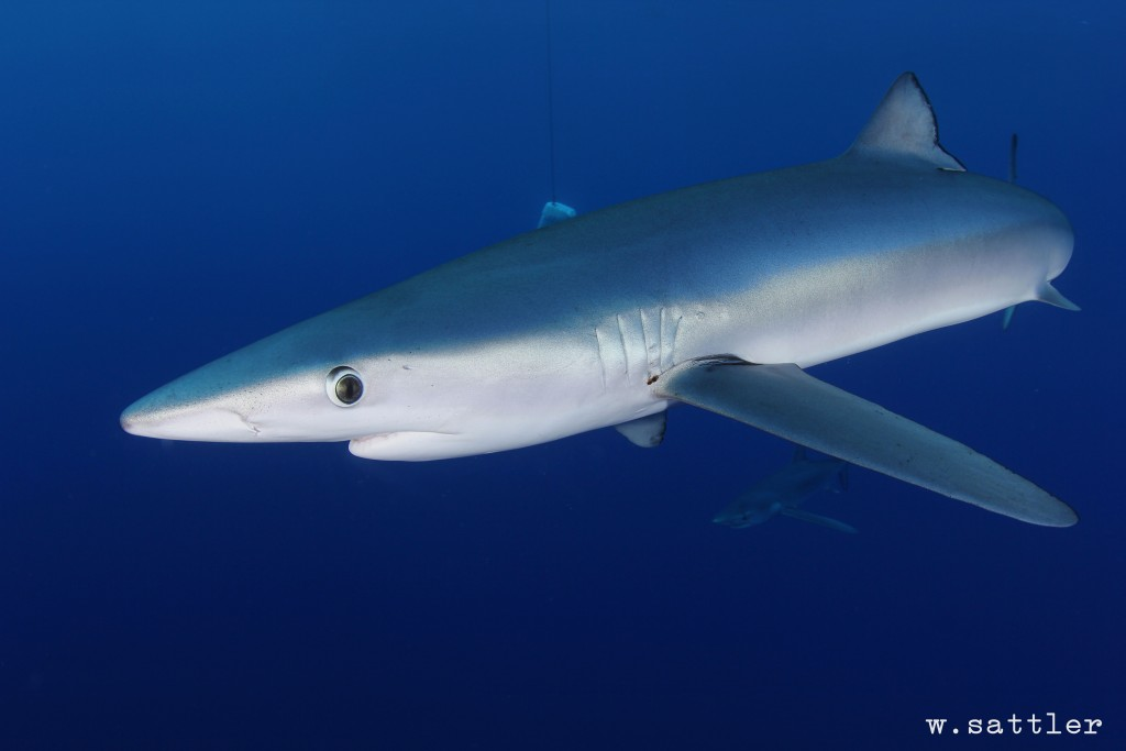 Blue shark Photo: Flickr Creative Commons:Willi