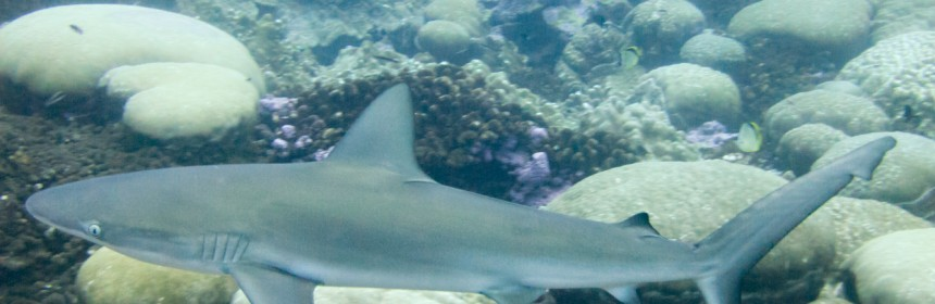 Juvenile dusky shark Photo: Flickr Creative Commons:Clifton Beard
