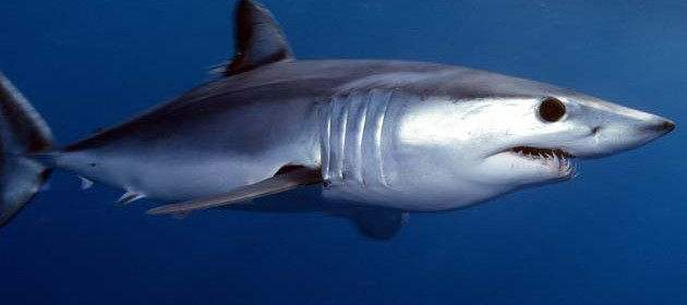 Shortfin mako. Photo: jidanchaomian Flickr Creative Commons