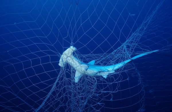 shark-in-net