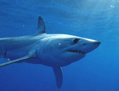 shortfin mako photo george schellenger