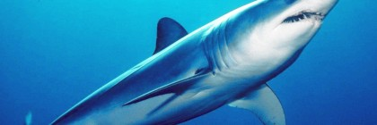 21. shortfin mako. photo_ Mark Conlin, SWFSC Large Pelagics Program_wikimedia commons