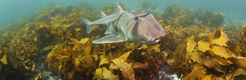 Port Jackson shark. Photo: Klaus Stiefel:Flickr Creative Commons