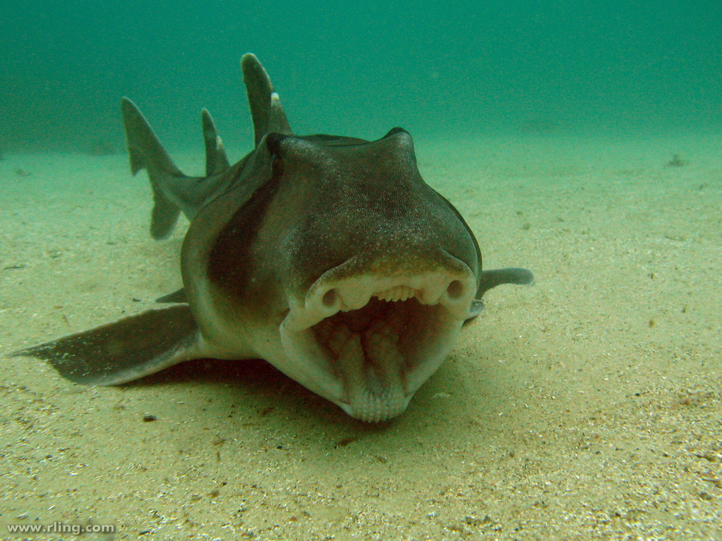 Port Jackson shark. Photo: Richard Ling:Flickr Creative Commons