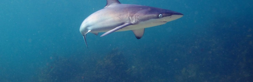 A Dusky Whaler Shark (Carcharhinus obscurus). Shelly Beach, Manly, NSW