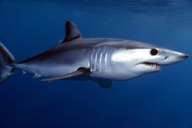 shortfin mako. photo: jidanchaomian:flickr creative commons