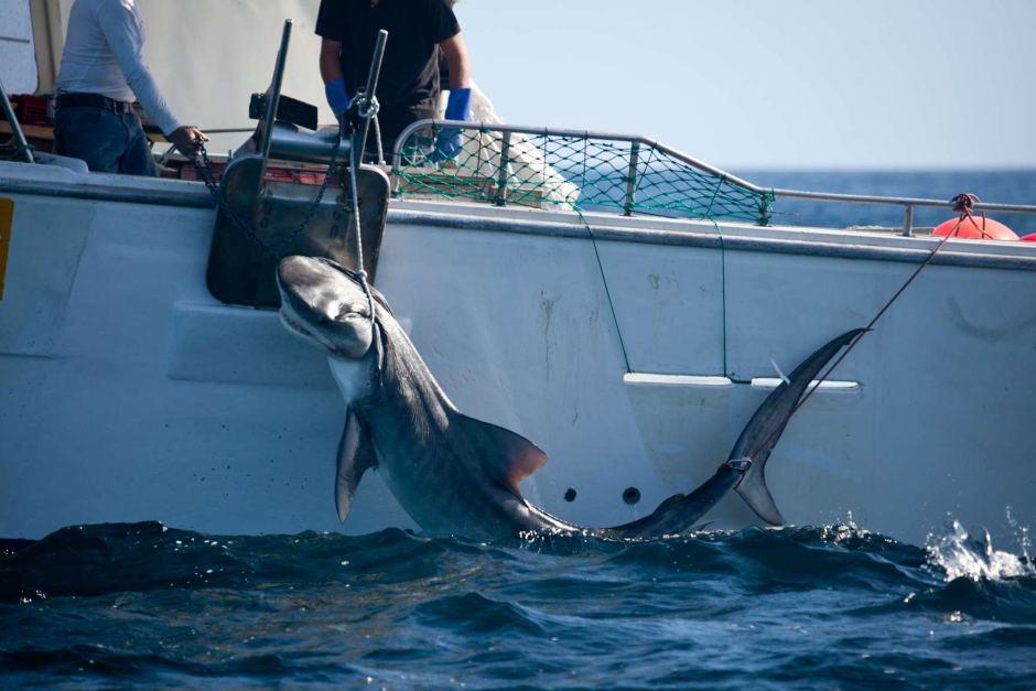Shark culling