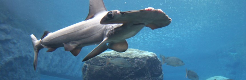Hammerhead in Durban aquarium. Photo: Cristiano Deana/Flickr Creative Commons.