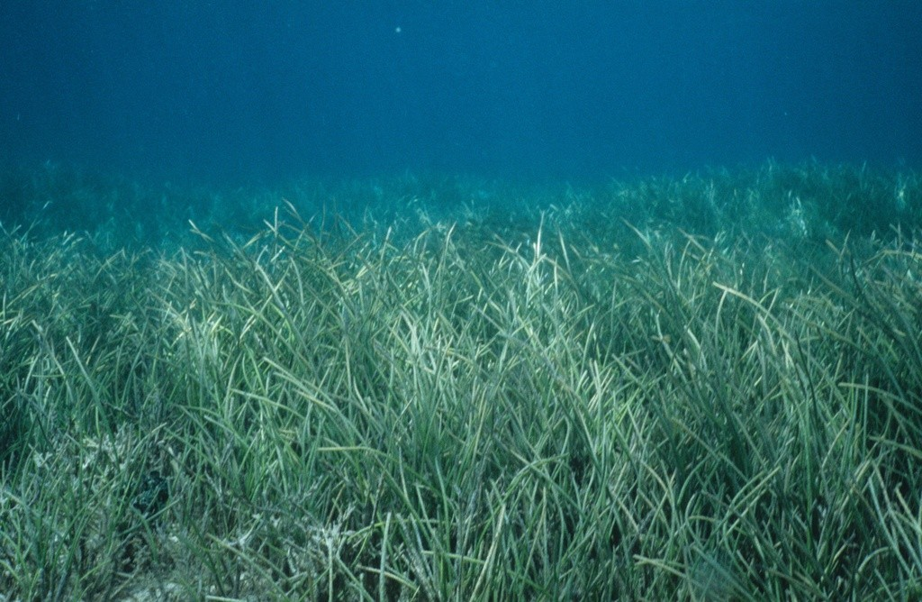 Seagrass bed, Fiji
