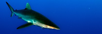 Silky Shark. Photo: Joi Ito/Flickr Creative Commons.