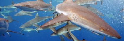 grey reef sharks. photo: USFWS - Pacific Region:Flickr Creative Commons