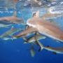 grey reef sharks. photo: USFWS - Pacific Region:Flickr Creative Commons