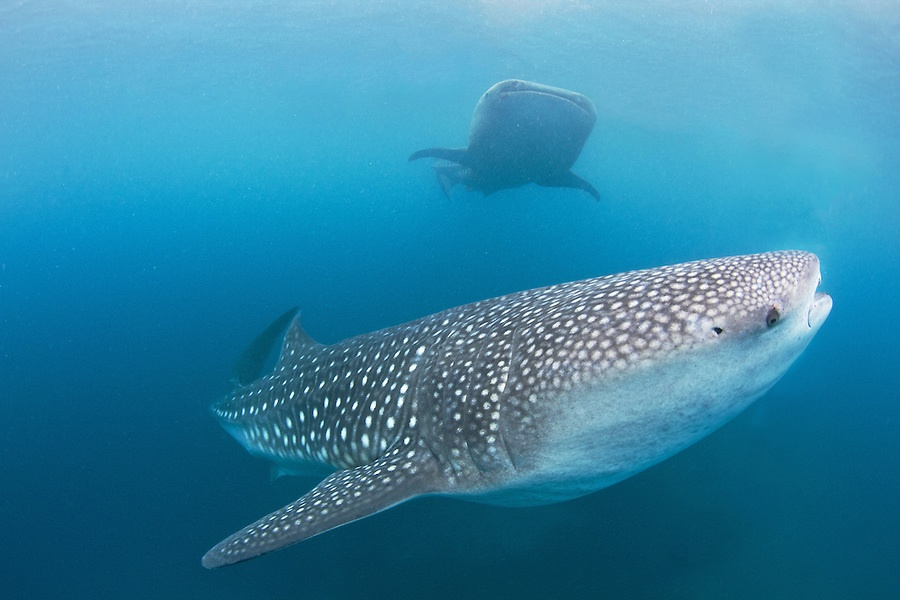 The whale sharks and fishermen of Oslob, Cebu, Philippines. The controversial feeding is still as popular as ever. Photo: Mark & Andrea Busse/Flickr Creative Commons.