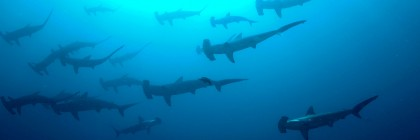 Migrating hammerheads. Photo: Flickr Creative Commons:Ryan Espanto