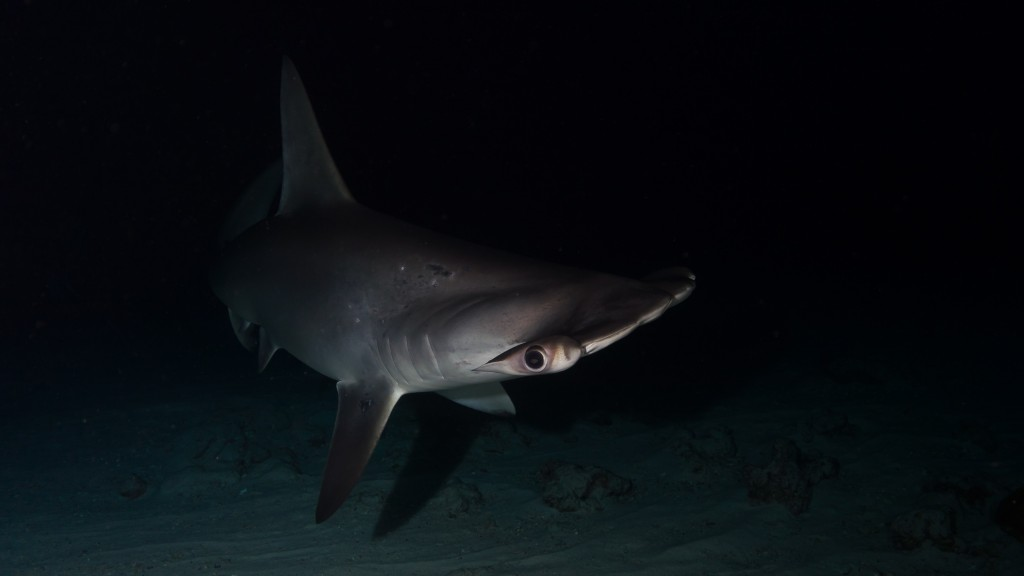Hammerheads are often seen in large schools during the day, but at night they feed solitary. The stingray is it's favored prey. Photo: Flickr Creative Commons/Kris-Mikael-Krister