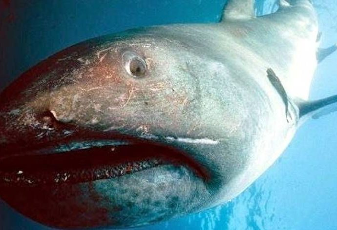 Megamouth Shark. Photo: Pinterest.