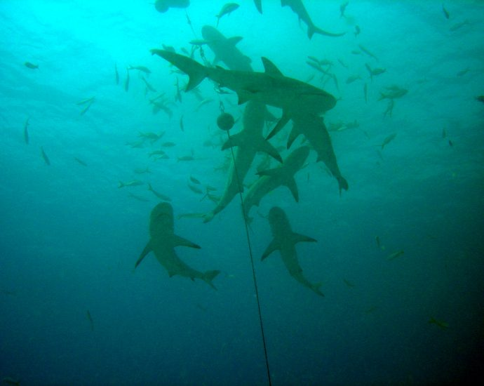 Shark feed in Bimini, Bahamas. Photo/ Matt Kiefer/Flickr CC