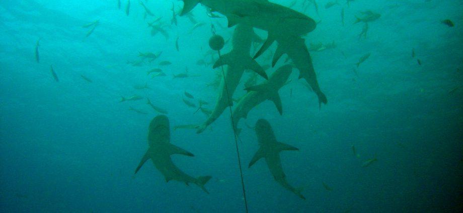 Shark feed in Bimini, Bahamas. Photo/ Matt Kiefer/Flickr CC