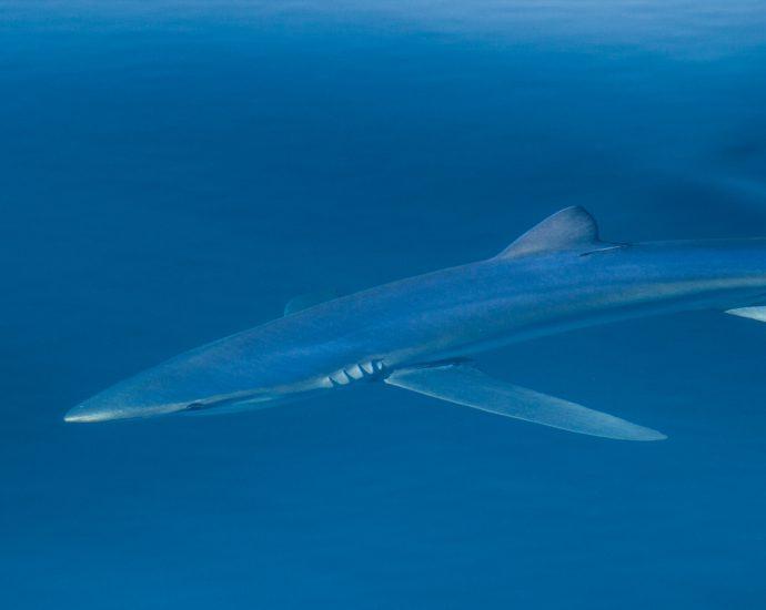 Blue shark. Photo: Adam Searcy/Flickr CC.