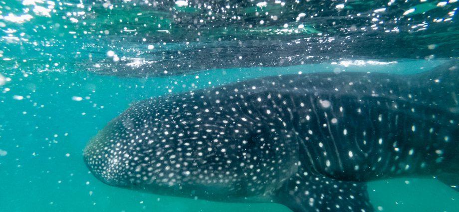 Whale shark. Photo: Matthew T. Rader/Unsplash.