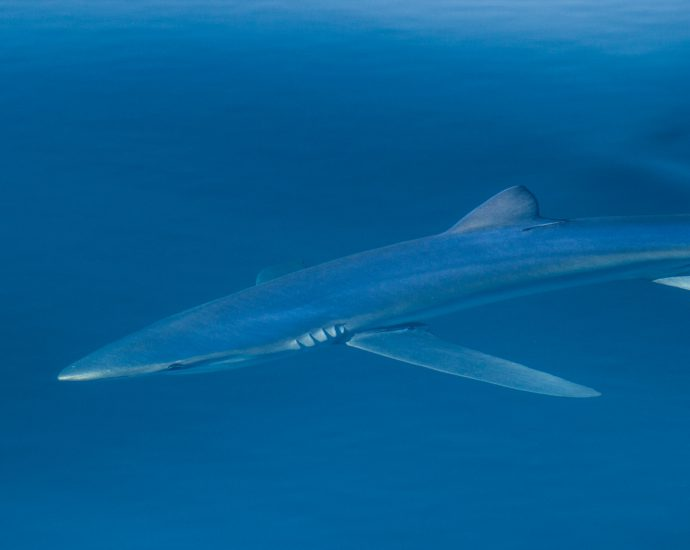 Blue shark. Photo: Adam Searcy/Flickr Creative Commons.